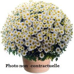Fleurissement de tombe en Chrysanthème Pomponette
