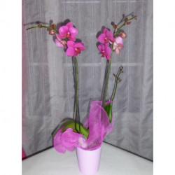 Phalaenopsis Orchidée Papillon